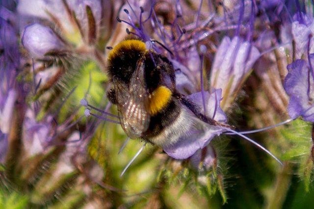 Die Honigbiene ist hauptverantwortlich für gute Ernten