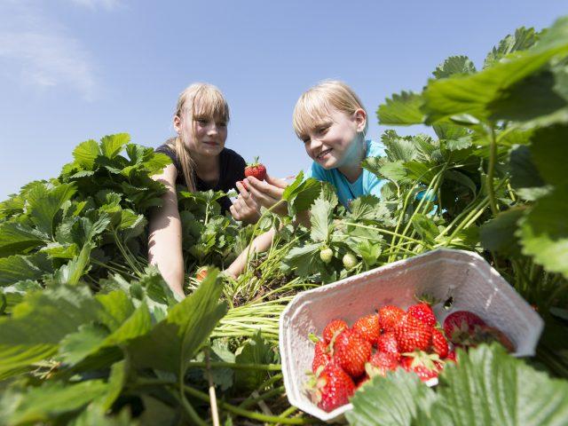 Stegen's Erdbeeren zum Selbstpflücken