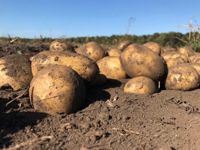 Die Kartoffelsaison beginnt bei uns im Frühjahr mit der Vorbereitung des Bodens