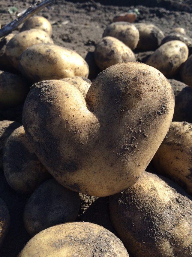 Kartoffeln dunkel und kühl lagern damit die Knollen nicht grün werden
